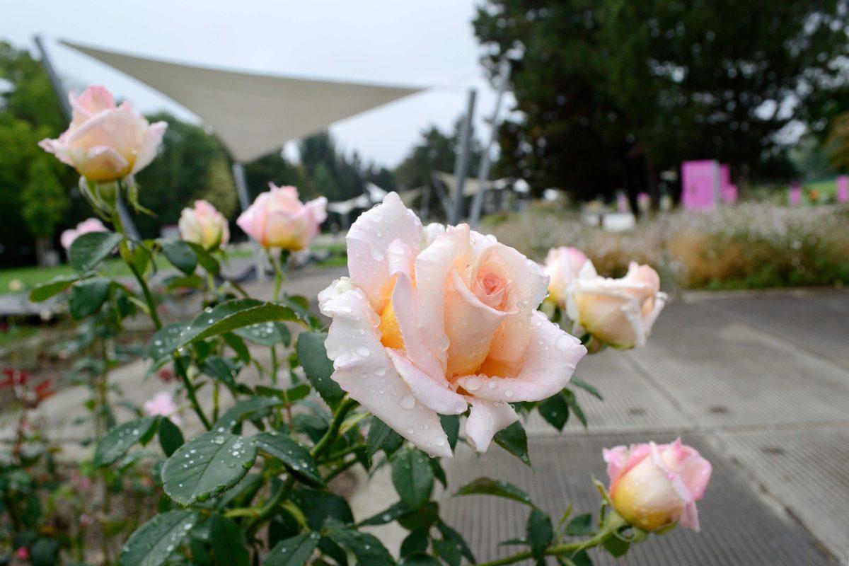Vyznání růžím v Olomouci
